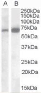 Anti-CADM4 Goat Polyclonal Antibody