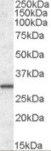 Anti-ERP29 Goat Polyclonal Antibody