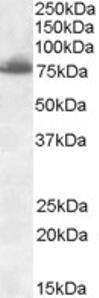 Anti-DLL1 Goat Polyclonal Antibody