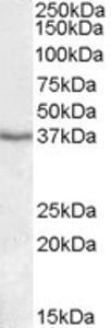Anti-PON1 Goat Polyclonal Antibody