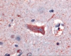 Anti-CHRM3 Rabbit Polyclonal Antibody