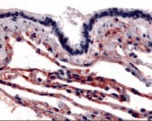 Anti-CAV1 Rabbit Polyclonal Antibody