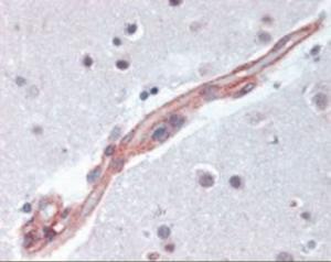 Anti-MAPK9 Rabbit Polyclonal Antibody