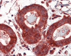 Anti-HSP90AB1 Mouse Monoclonal Antibody