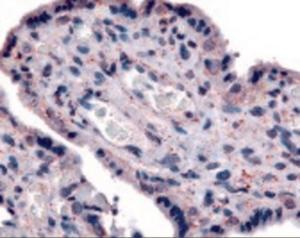 Anti-SLC7A5 Rabbit Polyclonal Antibody