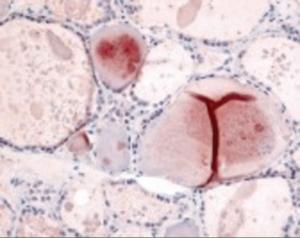 Anti-PDE8B Rabbit Polyclonal Antibody