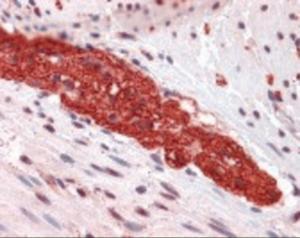 Anti-GRM5 Rabbit Polyclonal Antibody