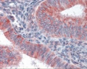 Anti-GJA1 Rabbit Polyclonal Antibody