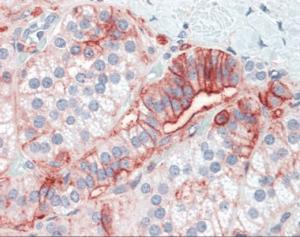 Anti-CD44 Mouse Monoclonal Antibody
