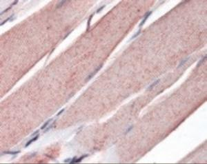 Anti-MYOG Mouse Monoclonal Antibody