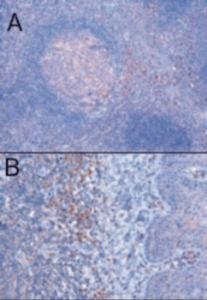Anti-TRIM5 Goat Polyclonal Antibody