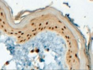 Anti-TFAP2C Goat Polyclonal Antibody
