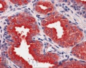 Anti-DUSP1 Goat Polyclonal Antibody