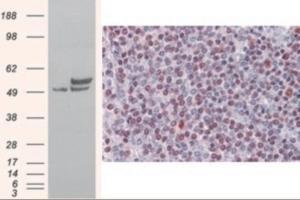 Anti-NONO Goat Polyclonal Antibody