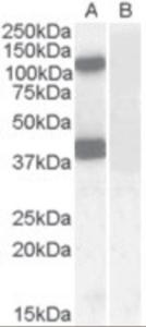 Anti-EPB41L2 Goat Polyclonal Antibody