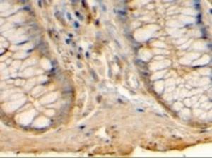 Anti-HRH1 Goat Polyclonal Antibody