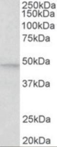 Anti-MAPK9 Goat Polyclonal Antibody