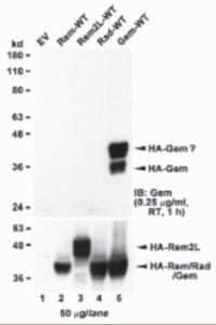 Anti-GEM Goat Polyclonal Antibody