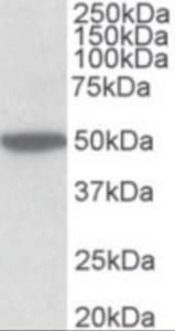 Anti-CHRM2 Goat Polyclonal Antibody