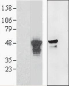 Anti-AURKA Goat Polyclonal Antibody