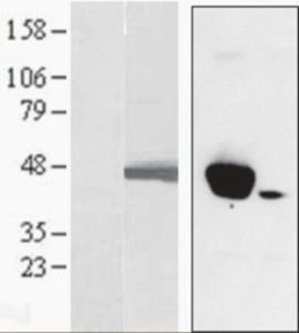 Anti-MAPK3 Goat Polyclonal Antibody