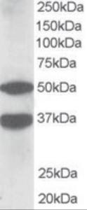 Anti-PACSIN1 Goat Polyclonal Antibody